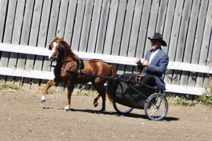 ASPC/AMHR Shetland/Miniature gelding Outlaw's Antici-Bey-Tion competing in a Country Pleasure class.