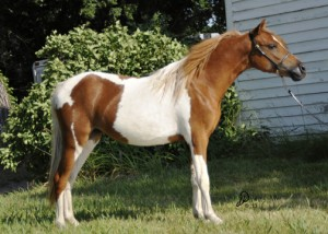 ASPC Classic Shetland filly Outlaw's Bey Blitz, sired by AE Bey Star and out of a D&S Tom Collins daughter, Outlaw's Tap Dancer.