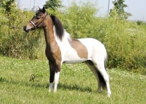 ASPC/AMHR Shetland/Miniature gelding Outlaw's Cosmos Bey, sired by AE Bey Star and out of a Tom Collins daughter, Outlaw's TC's No Mirage.