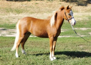 AMHR Miniature mare Outlaw's Fireball Bey, sired by AE Bey Star and out of former show mare Rowbuck Dear Abby.