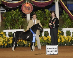 ASPC/AMHR Shetland/Miniature Stallion D&S Tom Collins, National Champion in Futurity & Model Stallion, and Senior Herd sire at Outlaw Miniatures & Shetlands..
