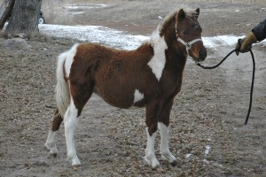ASPC Classic Shetland gelding Outlaw's The Bey Magician, sired by AE Bey Star.
