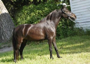 AMHR Miniature mare Outlaw's RagTime Blues, sired by D&S Tom Collins.