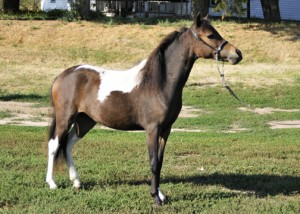 AMHR Miniature mare Outlaw's Bey Rhumba, sired by AE Bey Star.