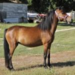 ASPC/AMHR mare