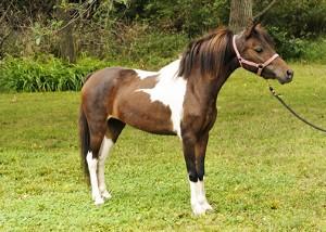 American Shetland Pony
