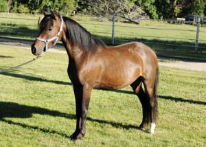 ASPC Classic Shetland gelding Outlaw's Bey Voltage 220, sired by AE Bey Star.