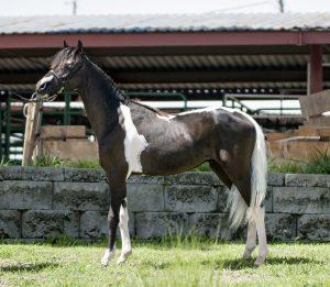 shetland-stallion-aspc