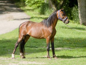 shetland-stallion