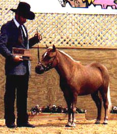AMHR Miniature gelding Outlaw's Billy the Kid, shown in halter, youth halter, youth showmanship, and Open and Youth Pleasure performance classes.