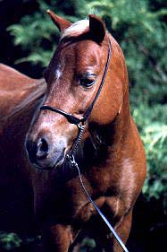 AMHR Miniature mare Color Me Foxy, the first miniature foal we raised and the dam of many champions.