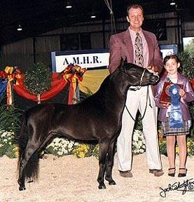 AMHR Miniature stallion Sami's Pipe'N Hot shown in Halter and Futurity classes.