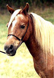 AMHR Miniature Mare I Love Suzzie, our very first miniature and the dam of many champions.