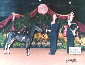 ASPC/AMHR Shetland/Miniature stallion D&S Tom Collins shown in halter, futurity, and Open Pleasure performance classes.