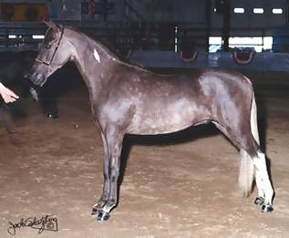 ASPC Classic Shetland gelding Outlaw's Just Wanna Lil 'MO, sired by Harbrooks Mo Mischief.