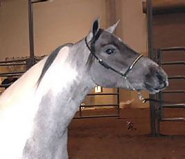 ASPC Classic Shetland mare Outlaw's Catipult's Blu Moon sired by the 1998 Pony of the Year, Town & Country's Catipult.