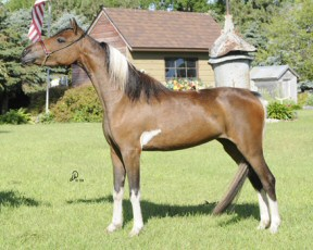 ASPC Shetland mare Outlaw's Tap Dancer sired by D&S Tom Collins.